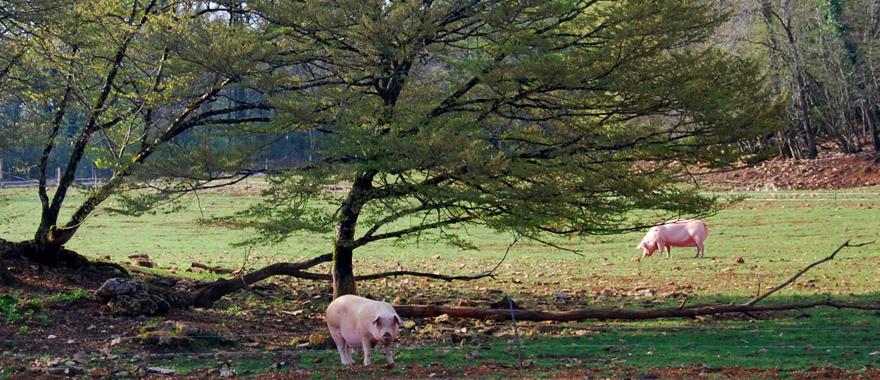 http://www.graanvarken.nl/uploads/images/Header/varkensindenatuur.jpg